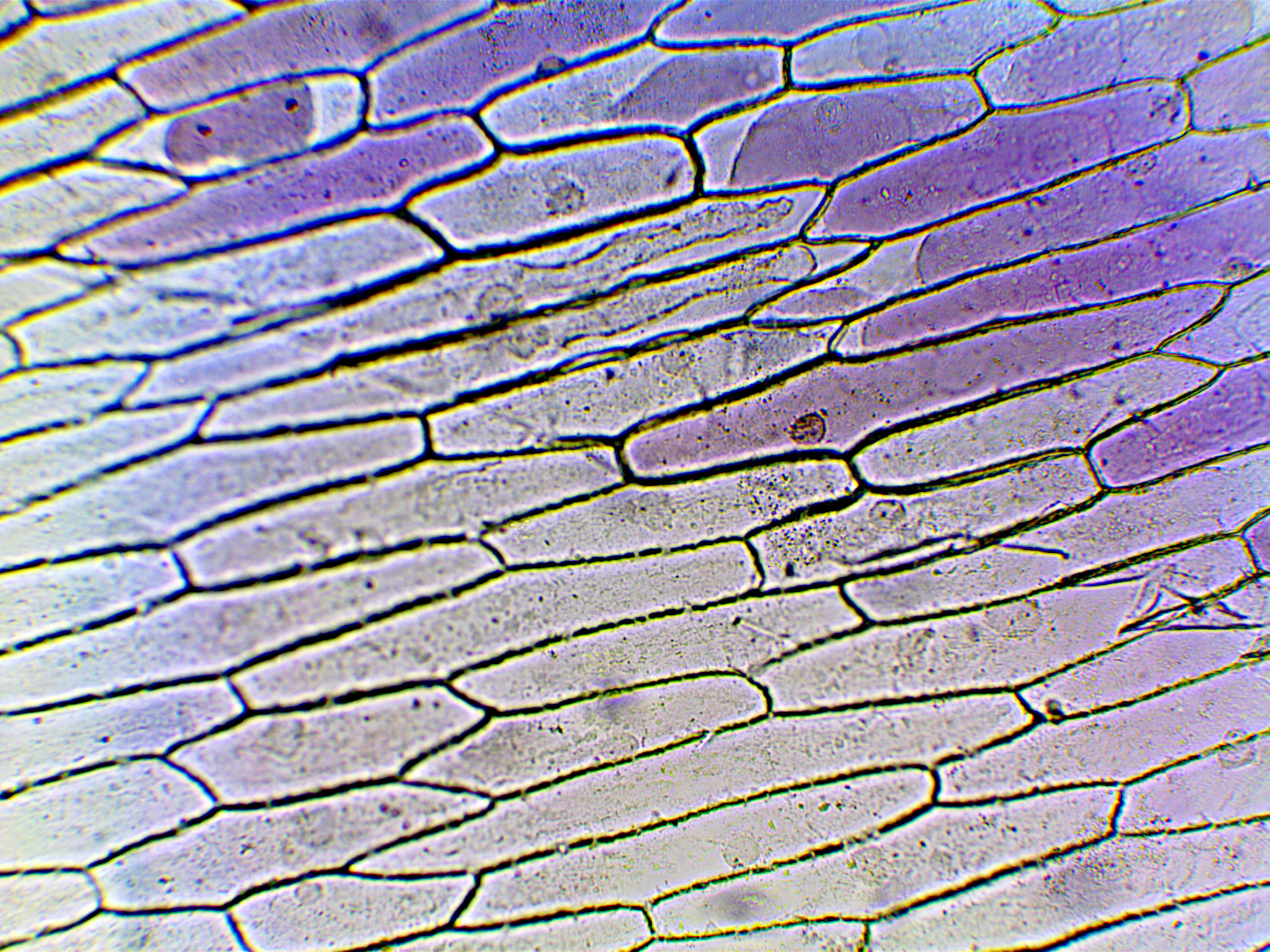 Onion cells magnified 100 times