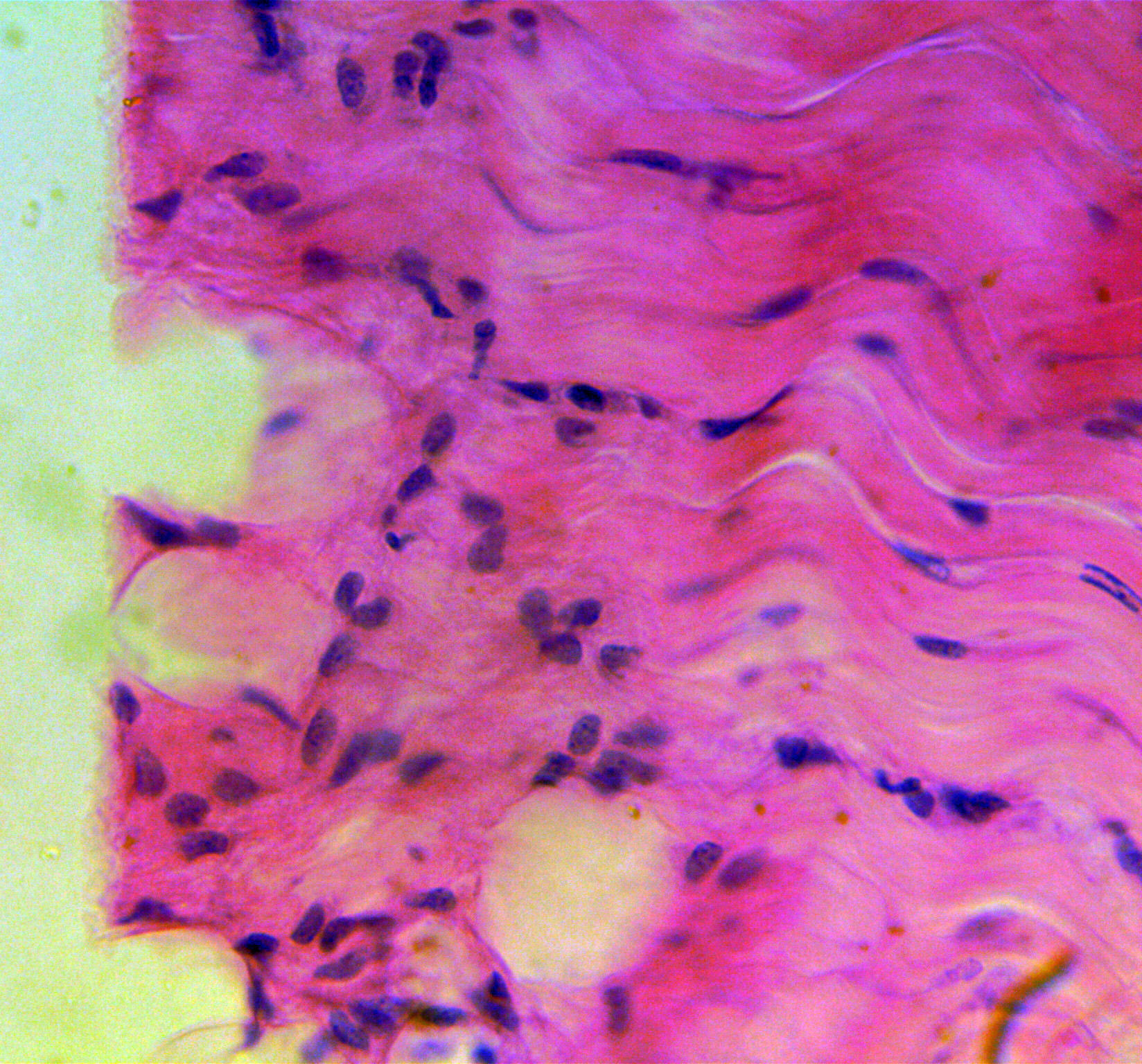 Dog Cardiac Muscle (l.s.) magnified 400 times