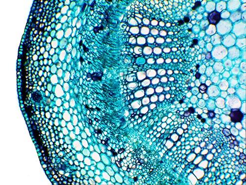 Cotton Stem (c.s.) magnified 100 times